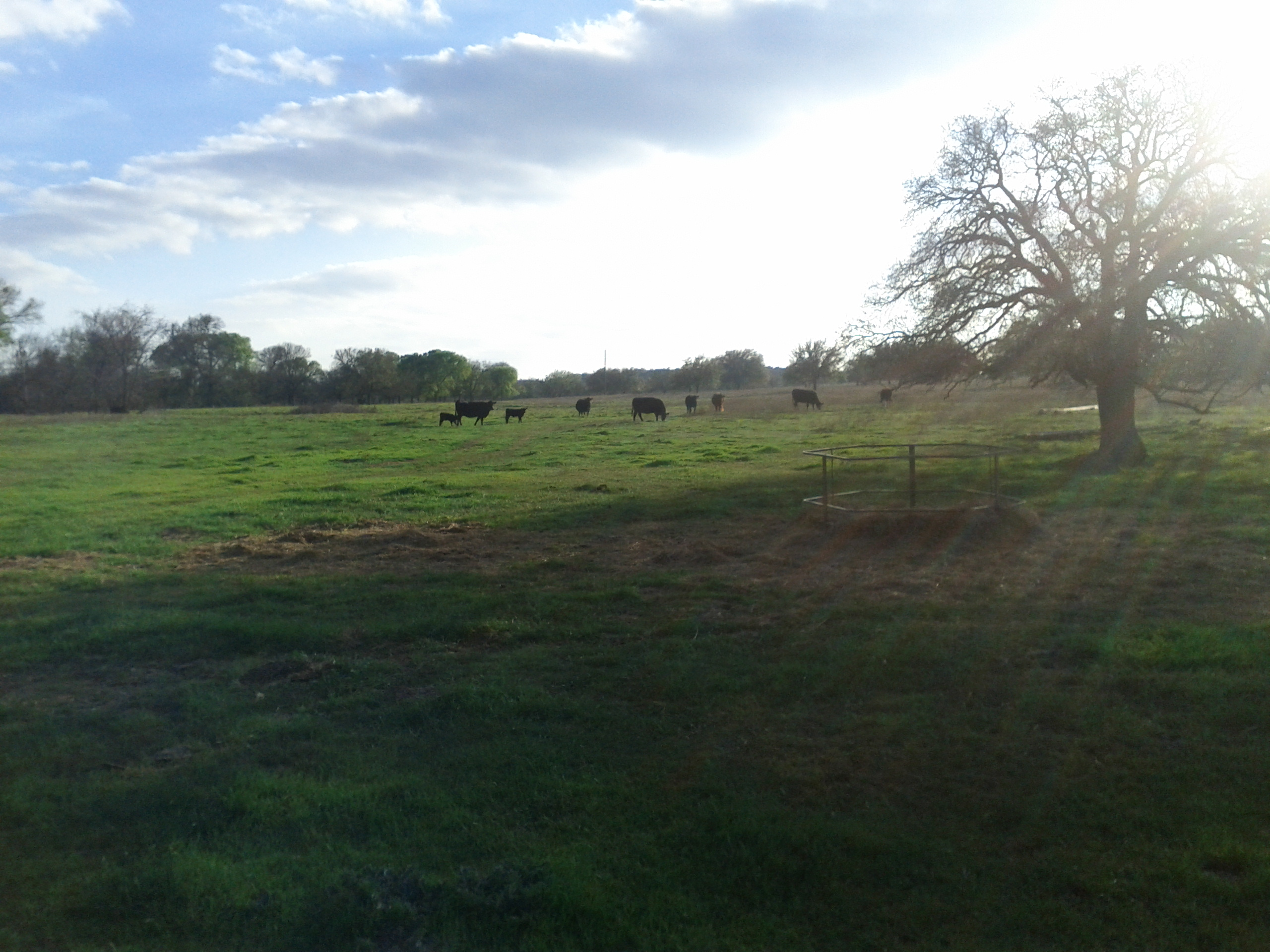 herd grazing in distance