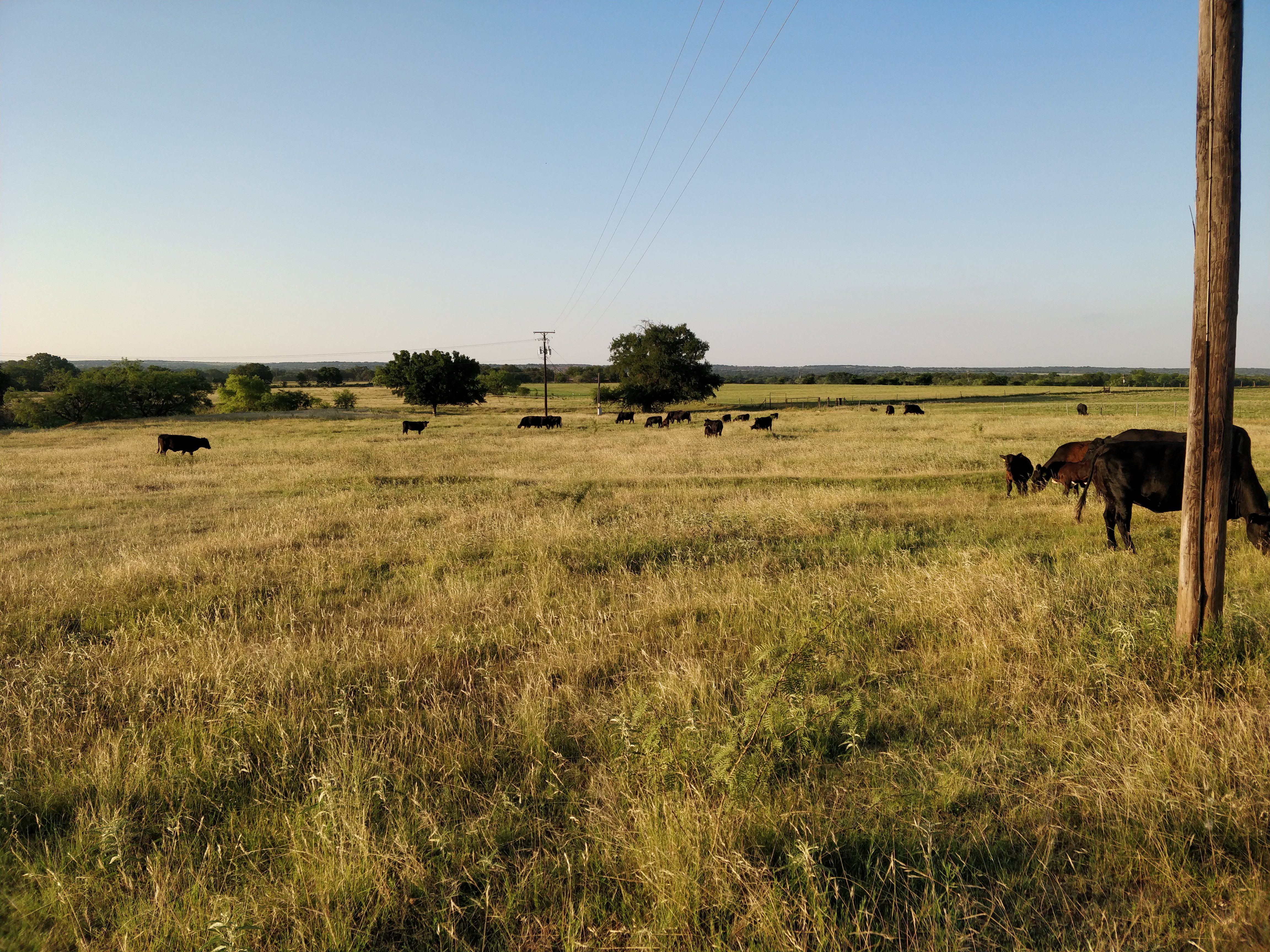 cattle on pasture, June 2020