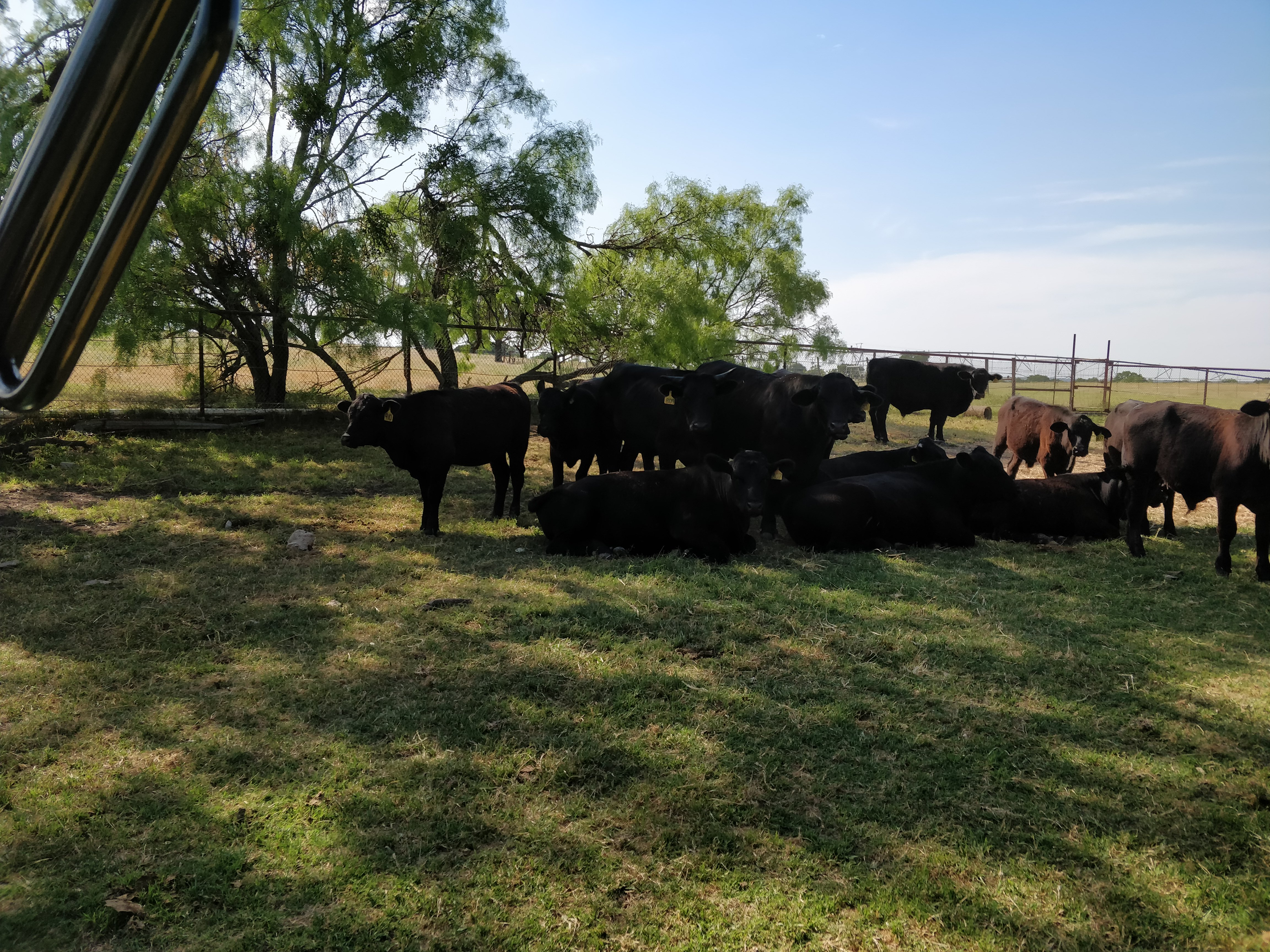 herd resting in shade (view 2)
