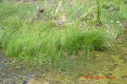 Stream with Reeds